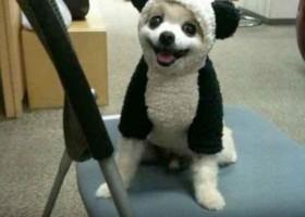 Chien deguise en panda