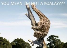 Je ne suis pas un Koala
