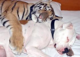 Tigre et chien, amis pour la vie !