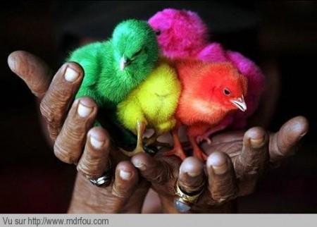 Des poussins bien colorés
