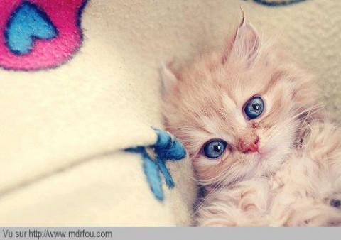Un chat avec de beaux yeux bleus