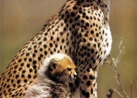 Un guépard bien stylé