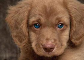 De beaux yeux bleus pour un chien