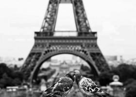Des pigeons qui se calinent devant la tour eiffel