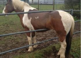 Gros fail du cheval qui est resté coincé
