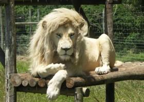 Le lion qui sort juste de chez le coiffeur