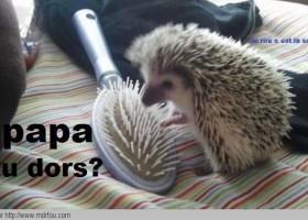 Papa tu dors demande un hérisson à une brosse