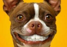 Le premier chien avec une dentition d homme
