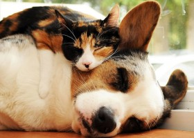 01 - Les chats trouvent les chiens confortables