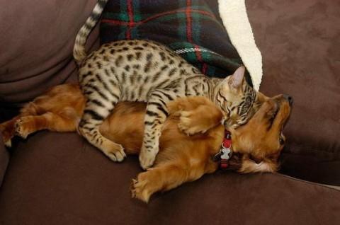 02 - Les chats trouvent les chiens confortables