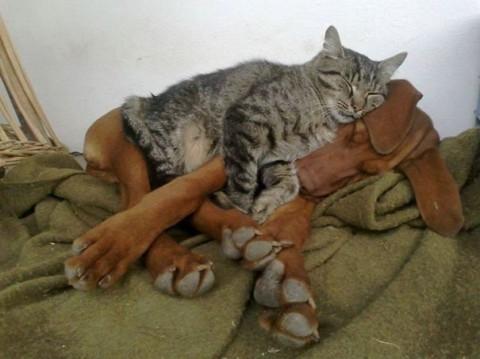 03 - Les chats trouvent les chiens confortables