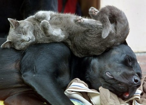 05 - Les chats trouvent les chiens confortables