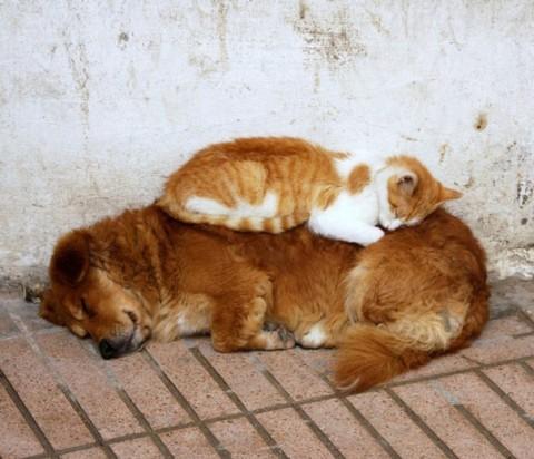 06 - Les chats trouvent les chiens confortables