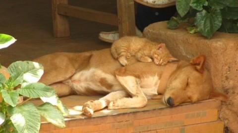 07 - Les chats trouvent les chiens confortables