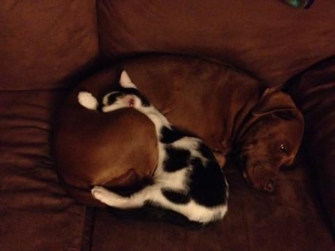 09 - Les chats trouvent les chiens confortables