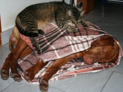 10 - Les chats trouvent les chiens confortables