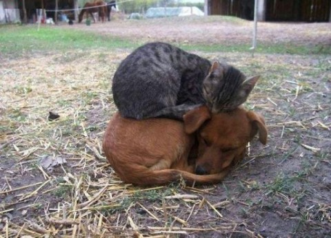11 - Les chats trouvent les chiens confortables