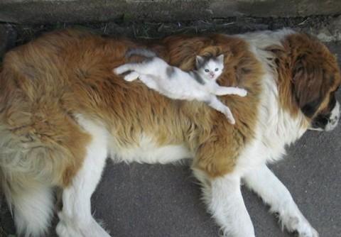 12 - Les chats trouvent les chiens confortables