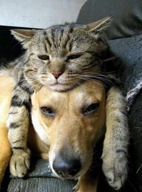 13 - Les chats trouvent les chiens confortables