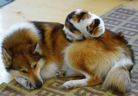 15 - Les chats trouvent les chiens confortables