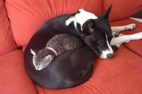 16 - Les chats trouvent les chiens confortables