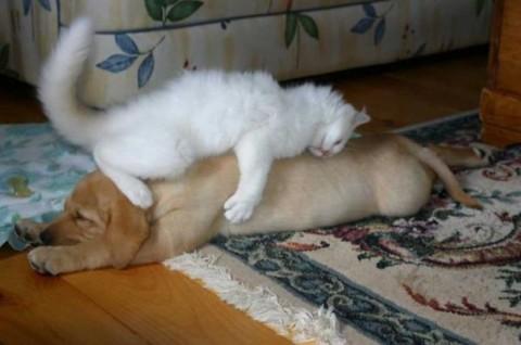 17 - Les chats trouvent les chiens confortables