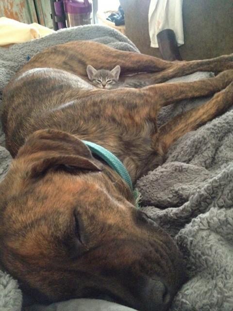 18 - Les chats trouvent les chiens confortables