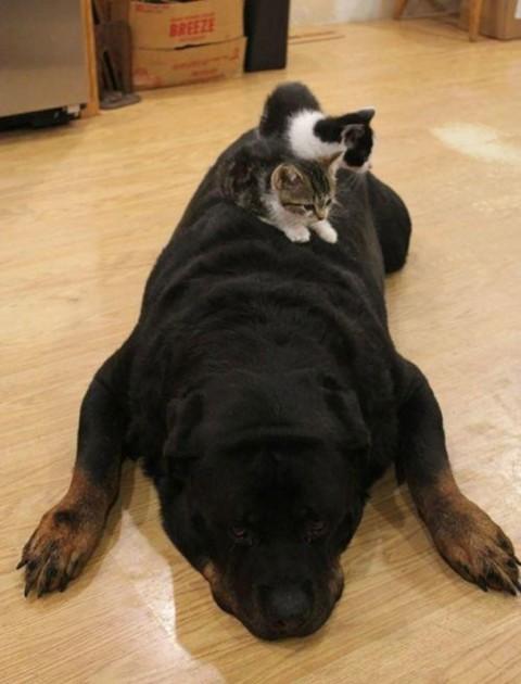 20 - Les chats trouvent les chiens confortables