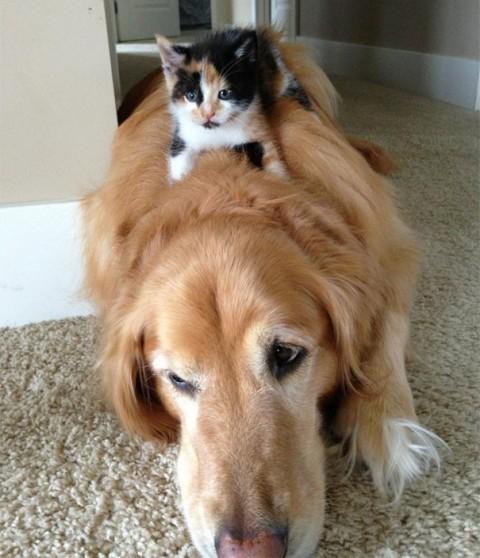 22 - Les chats trouvent les chiens confortables
